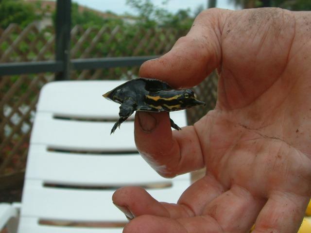 turtle langnase