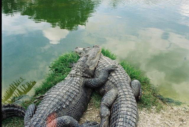 Bild vom Aligatorpärchen