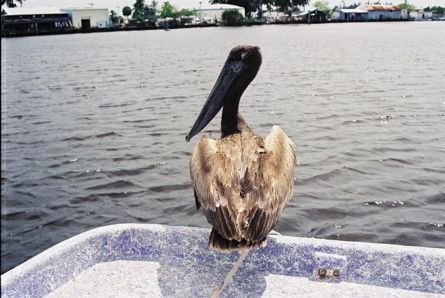 Bild vom Pelikan